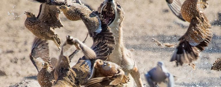 crazy photo of a jackal hunting sandgrouse!