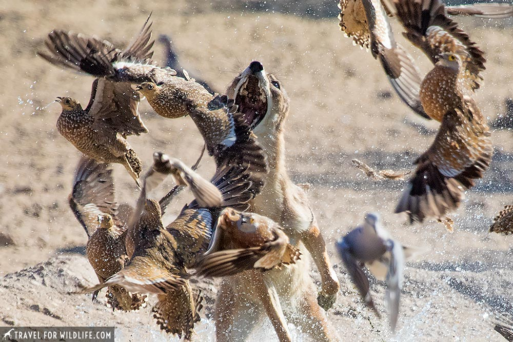 crazy photo of a jackal hunting sandgrouse!