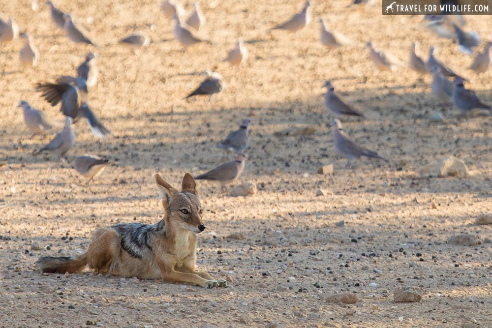jackal getting ready to attack in the Kalahari Desert, South Africa