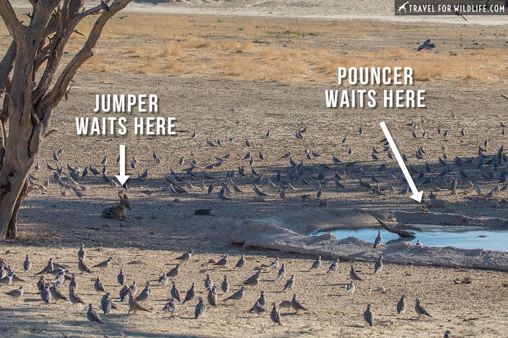 jackals hunting doves in Kgalagadi Transfrontier Park