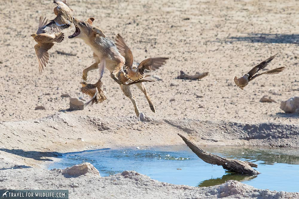 Jackal hunting sandgrouse in the Kalahari Desert, South Africa