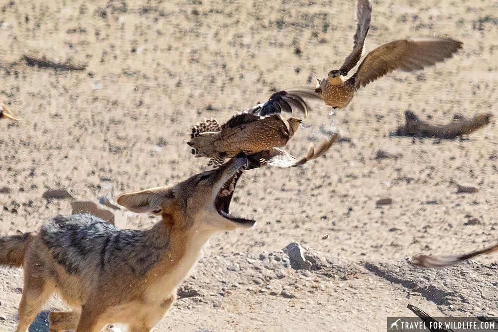 Jackal hunting sandgrouse in the Kgalagadi Transfrontier Park, South Africa