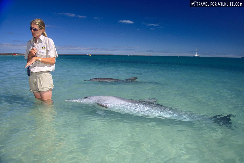 Indo-Pacific Bottlenose Dolphin (Tursiops aduncus) Monkey Mia Reserve, Shark Bay, Western Australia