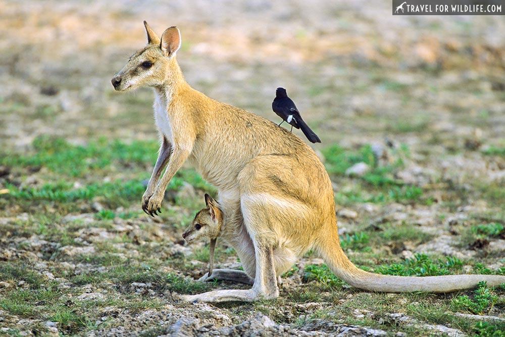 Agile Wallaby (Macropus agiolis) joey and WIllie Wagtail (Rhipidura leucophrys) in Kakadu National Park, Australia