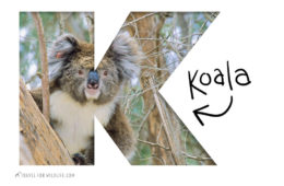 Animals starting with K, koala