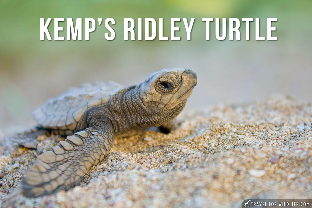 animals that start with the letter k: kemp's Ridley turtle