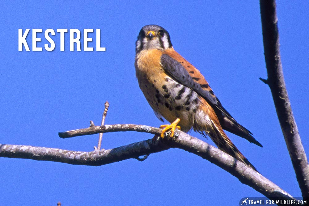 animals starting with k , kestrel