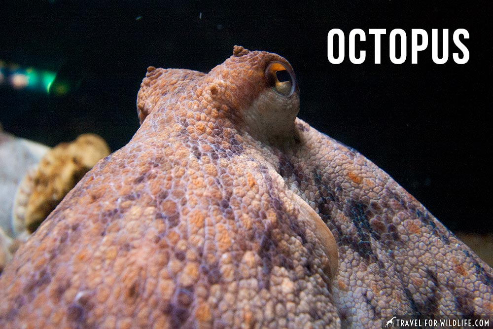 best animals that start with O: octopus