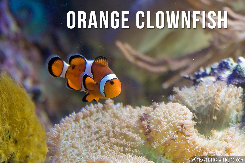 animals that start with o: orange clownfish