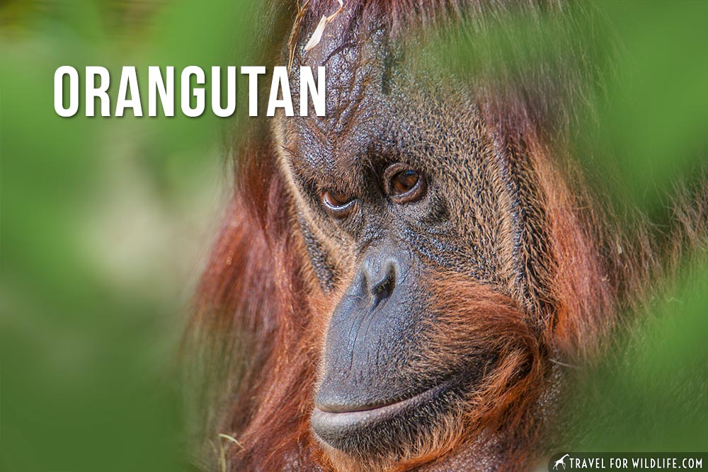 animals starting with o: the orangutan