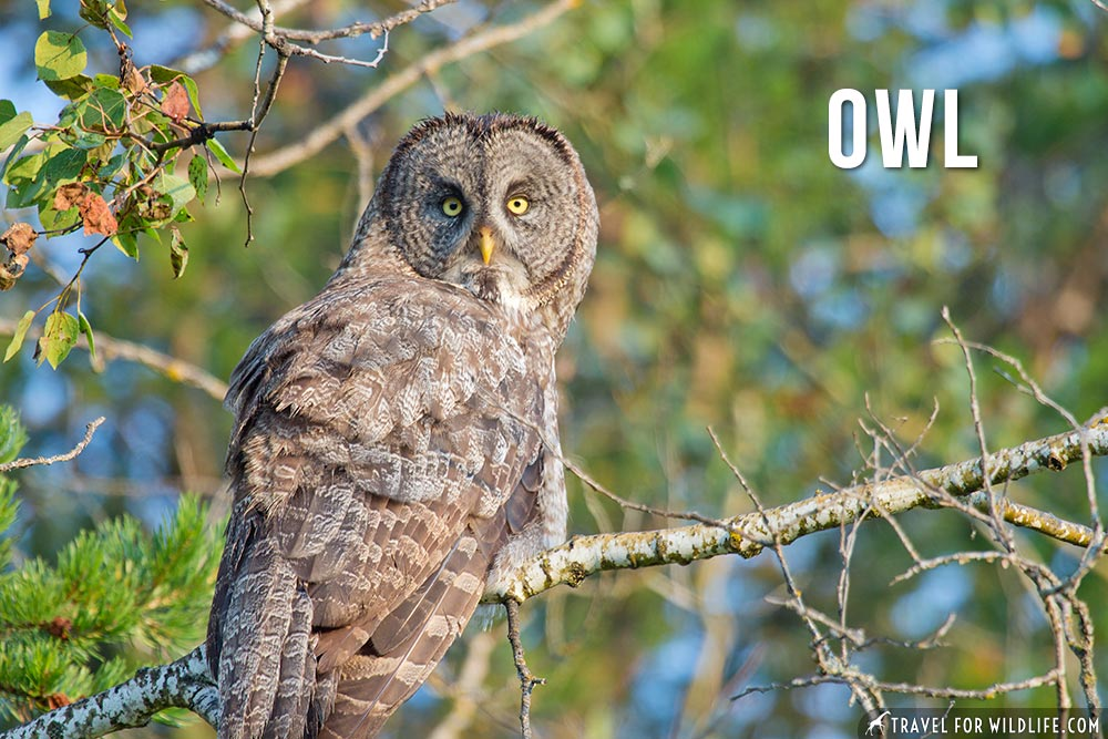 owl: animals beginning with o