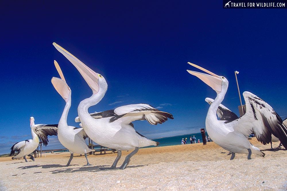 Australian Pelicans (Pelecanus conspicillatus) Monkey Mia Reserve Shark Bay, Western Australia