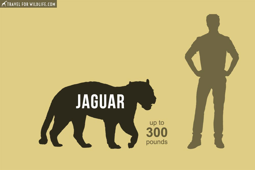 Jaguar is the third on the big cats list