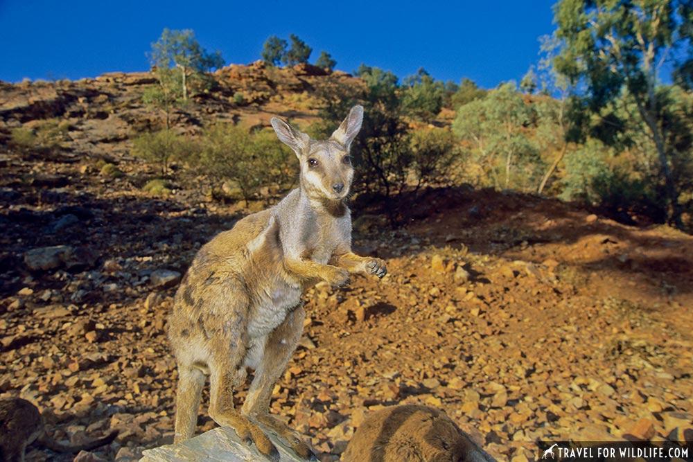 Native Australian animals, Alice Springs