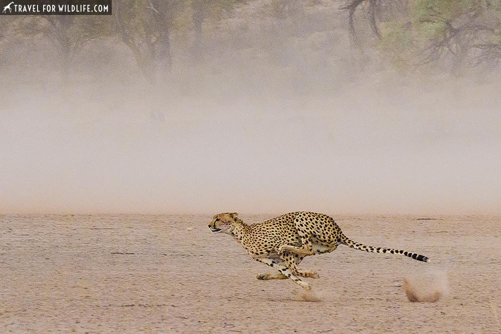 cheetah running at full speed