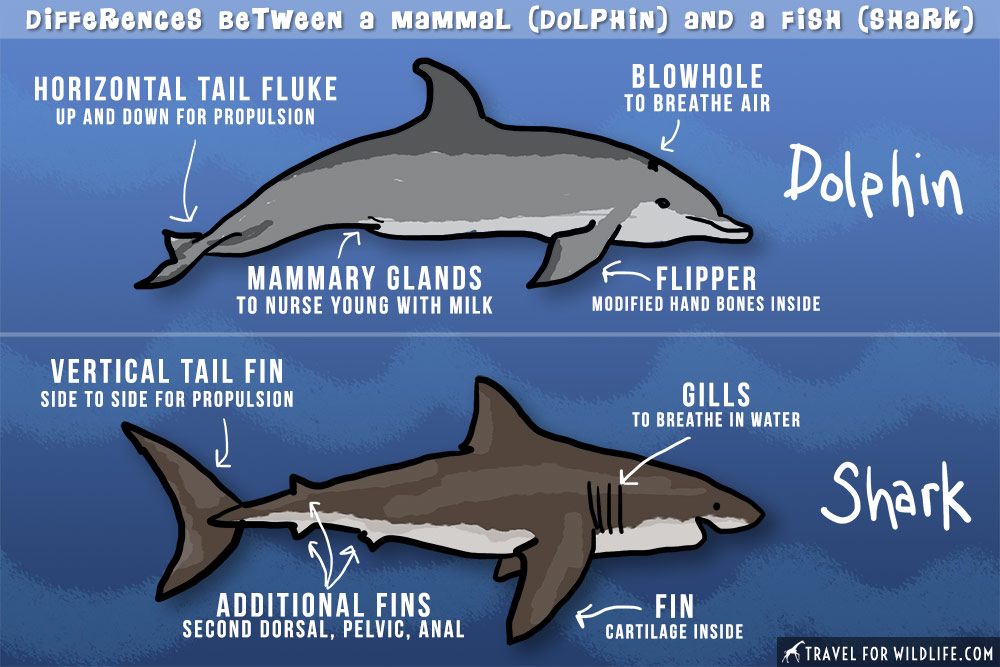 Are sharks mammals: Difference between shark and dolphin