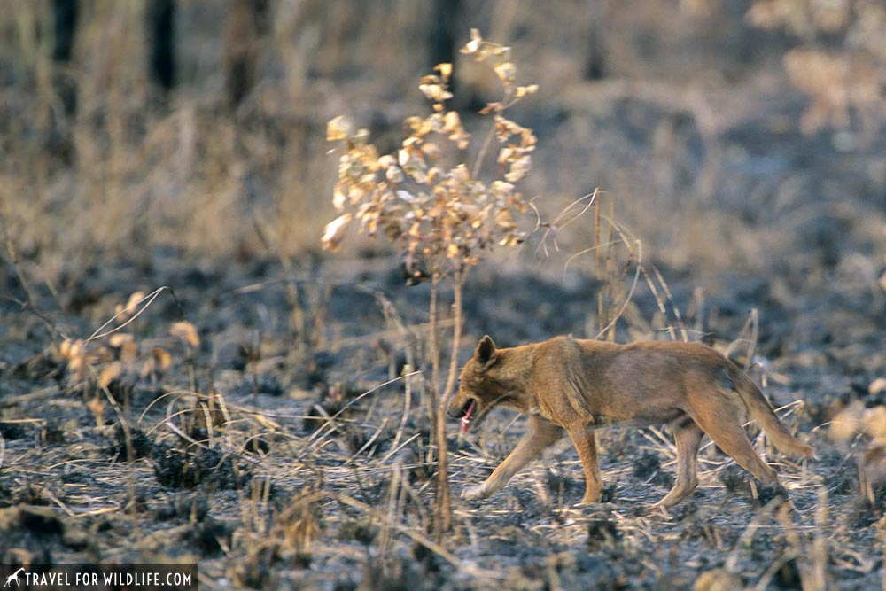 Dingo in Kakadu National Park, Northern Territory, Australia