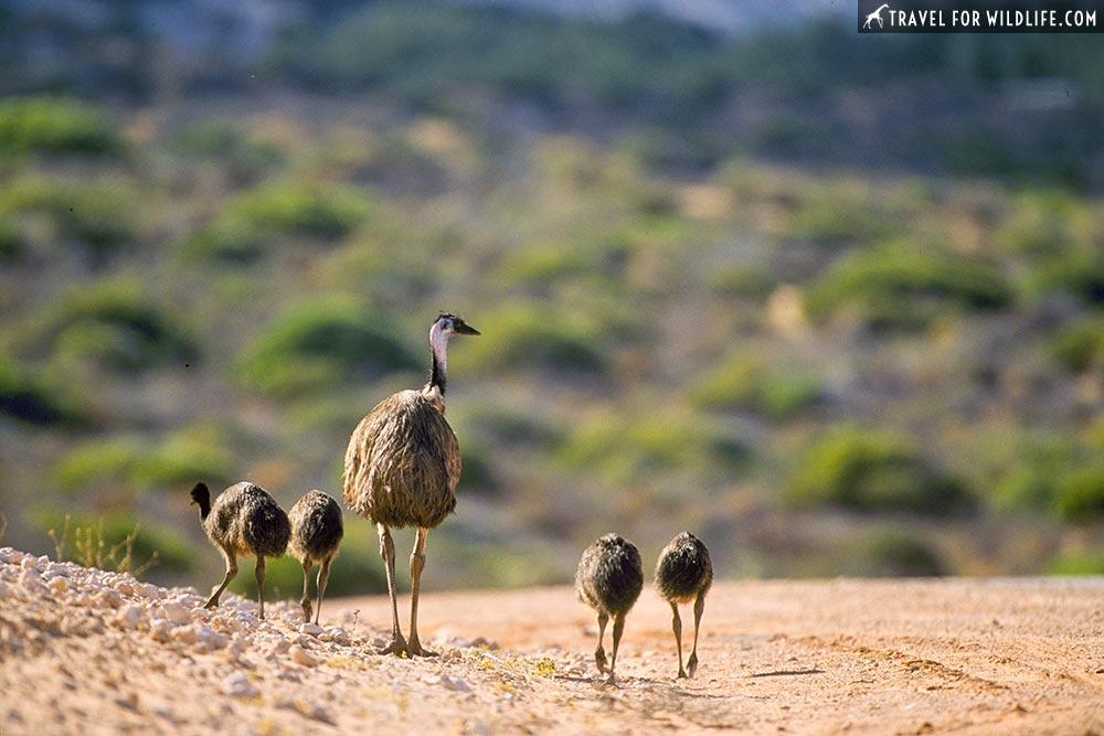 male Emu and juveniles (Dromias novaehollandiae) near Nanga, Shark Bay, Western Australia