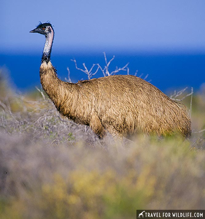 male Emu (Dromias novaehollandiae) near Nanga, Shark Bay, Western Australia