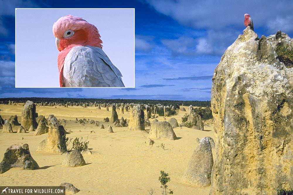 male Galah perched on top of a pinnacle (Eolophus (Cacatua) roseicapillus) The Pinnacles - Nambung National Park Western Australia