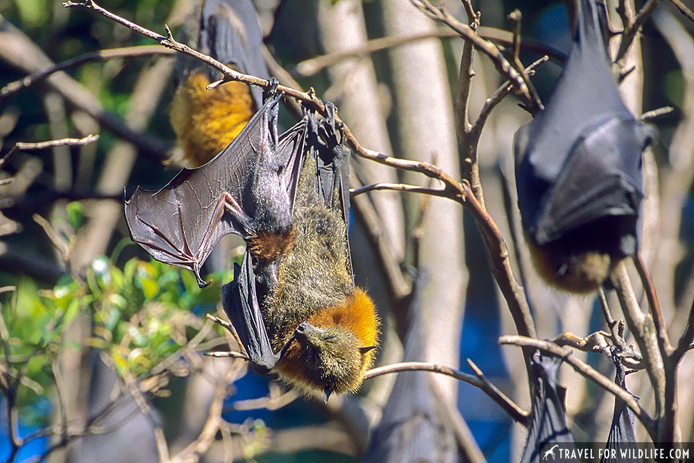 Grey-headed Flying Foxes (Pteropus poliocephalus), female with baby. Royal Botanic Gardens, Melbourne, Australia