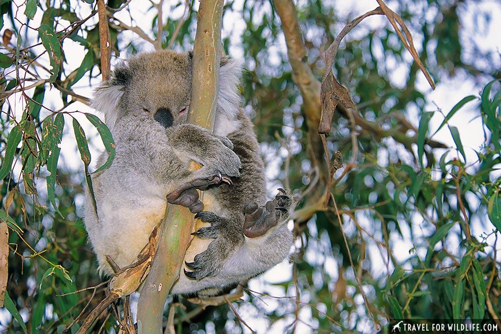 Koala (Phascolarctos cinereus) Phillip Island, Victoria, Australia