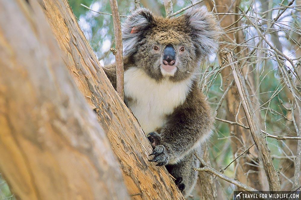 Koala (Phascolarctos cinereus) Flinders Chase National Park, Kangaroo Island, South Australia