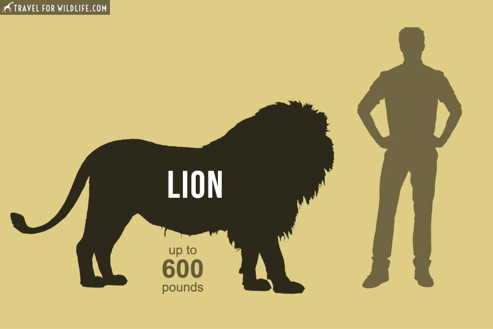 Lion, Panthera leo, 2nd of the biggest cats in the world