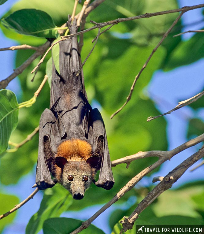 Little Red Flying Fox (Pteropus scapulatus) Low Level NR, Northern Territory, Australia
