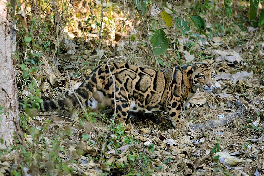 mainland clouded leopard, big cats