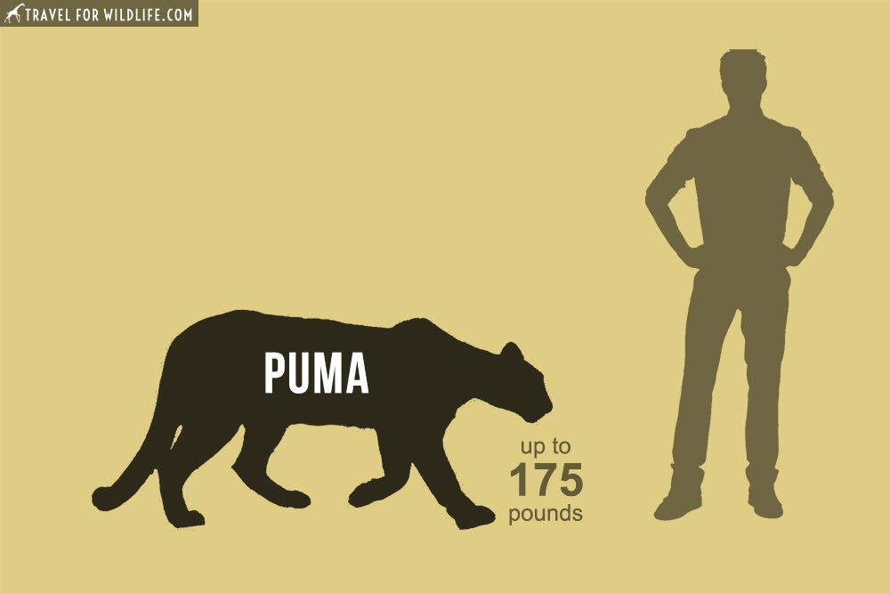 Mountain Lions (Puma concolor) 5th biggest cats in the world