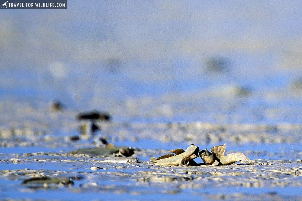 Blue-spotted Mudskippers Roebuck Bay, Broome, WA, Australia