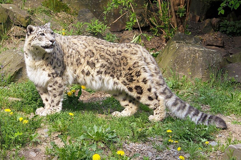 wild cat breeds: snow leopard