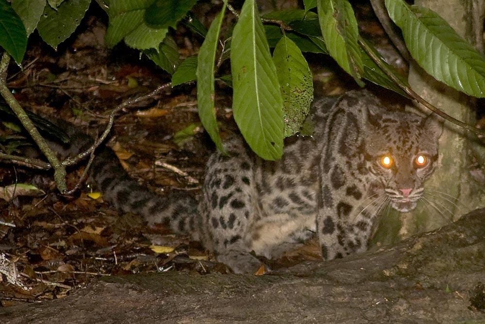 Sunda Clouded Leopard (neofelis diardi)