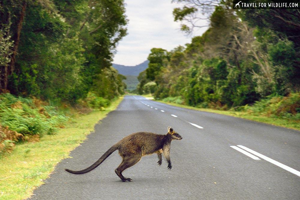 Swamp Wallaby (Wallabia bicolor) Wilsons Promontory National Park, Victoria, Australia