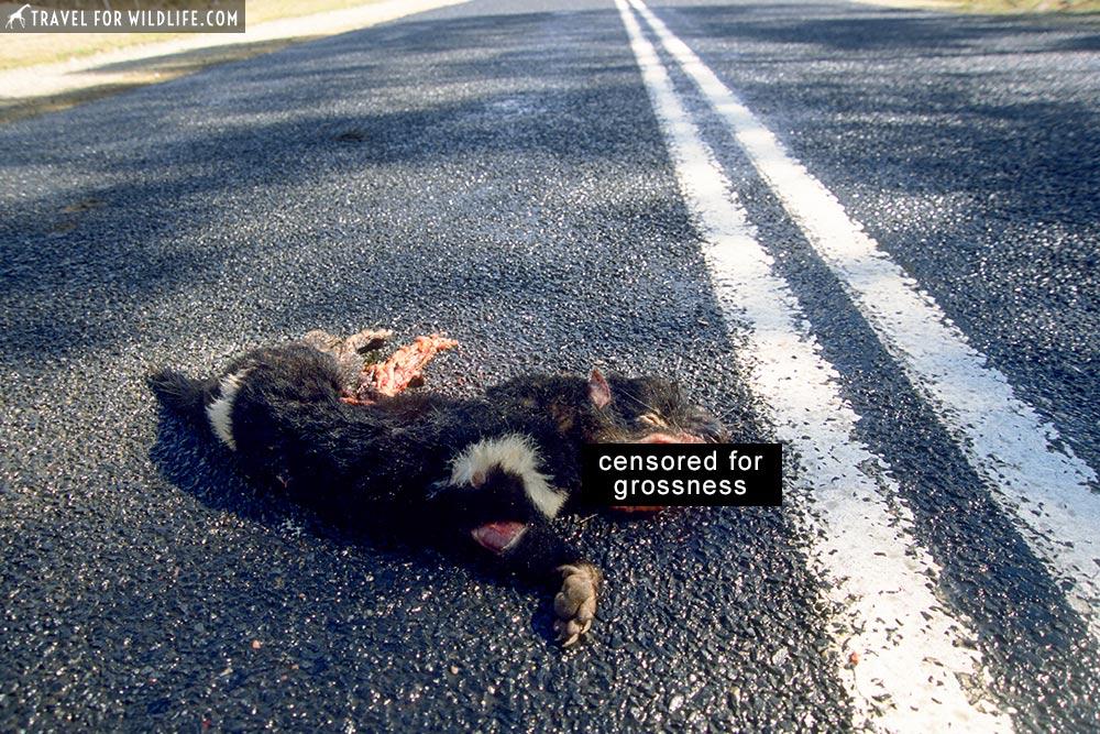 Tasmanian Devil roadkill (Sarcophilus harrisii), killed on road. Tasmania, Australia