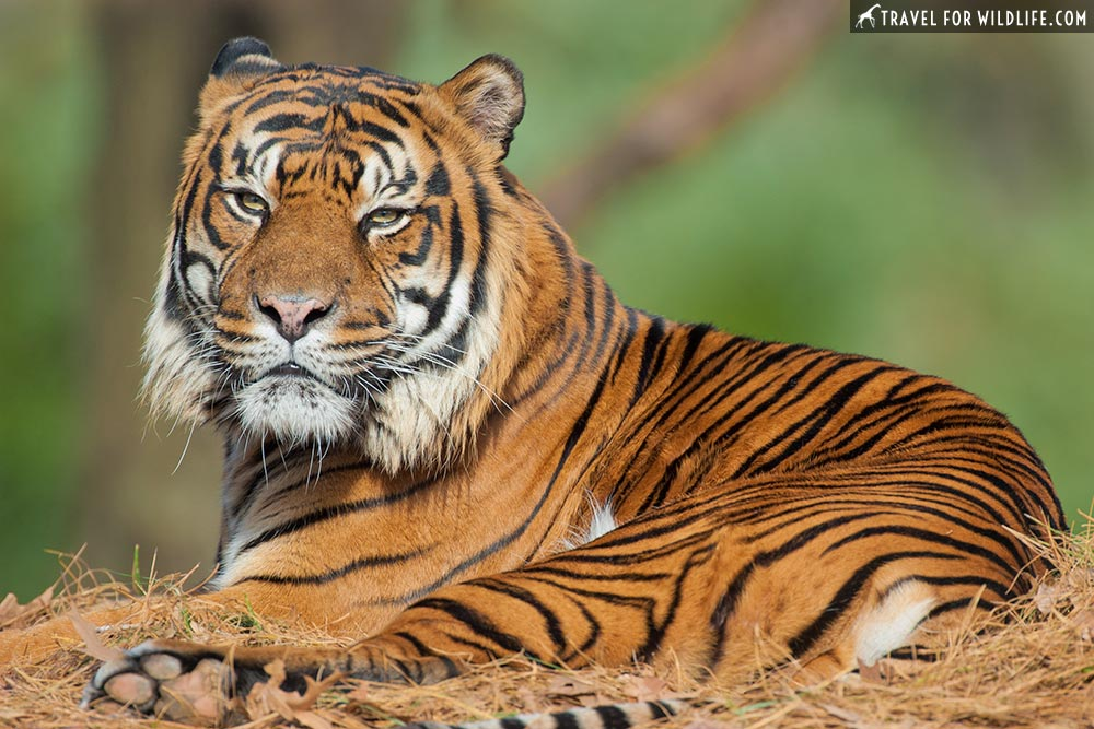 Largest Cats in the world: tiger