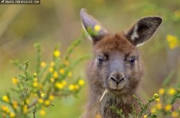 Native Australian animals on Kangaroo Island