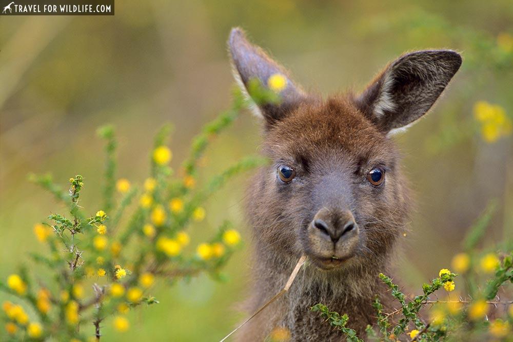 Native Australian animals on Kangaroo Island