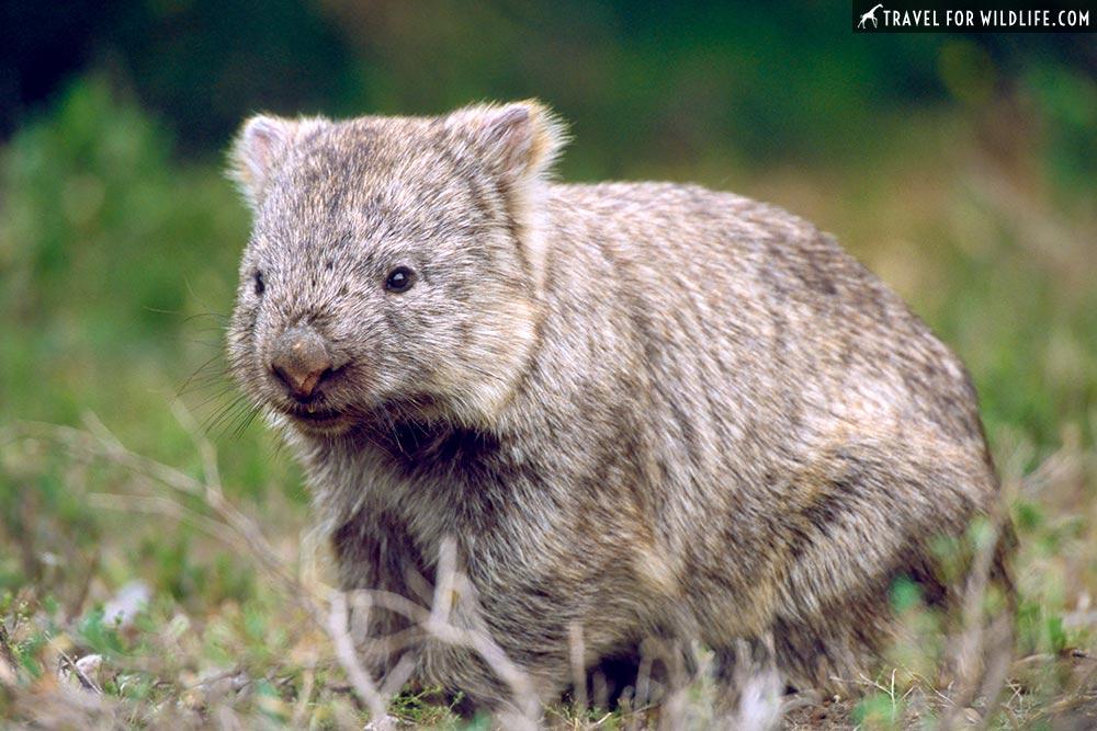 Common Wombat (Vombatus ursinus) Wilsons Promontory National Park, Victoria, Australia