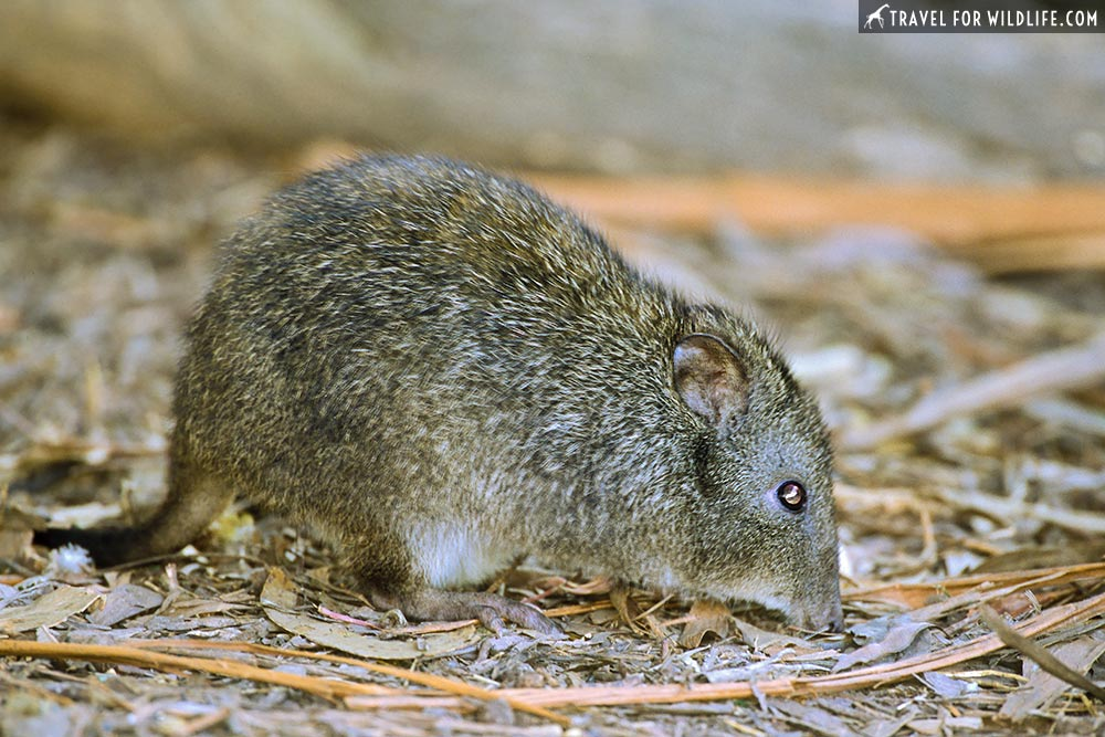 """Brush-tailed Bettong (Bettongia penicillata), also known as a """"Woylie"""". Warrawong Earth Sanctuary, near Adelaide, SA, Australia"""