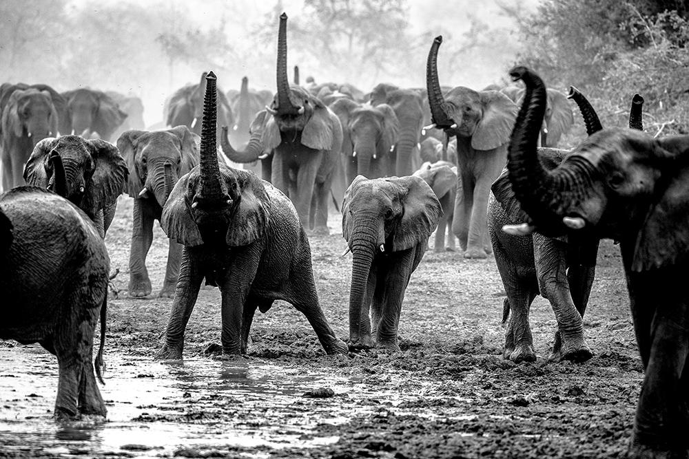 Elephants at Chad