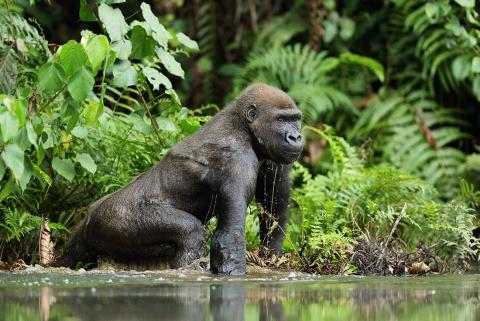 Lowland gorilla crossing a river in Congo