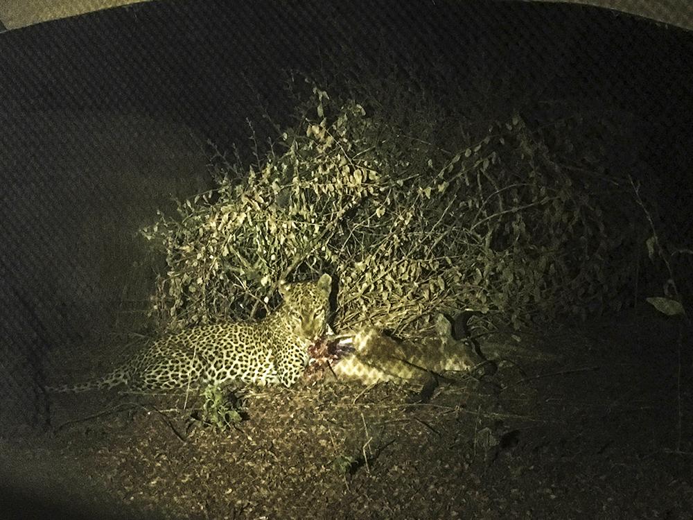 Leopard with a kill at night