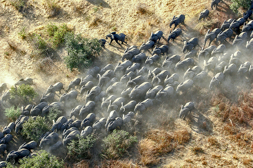 Elephant herd from the air in Chad
