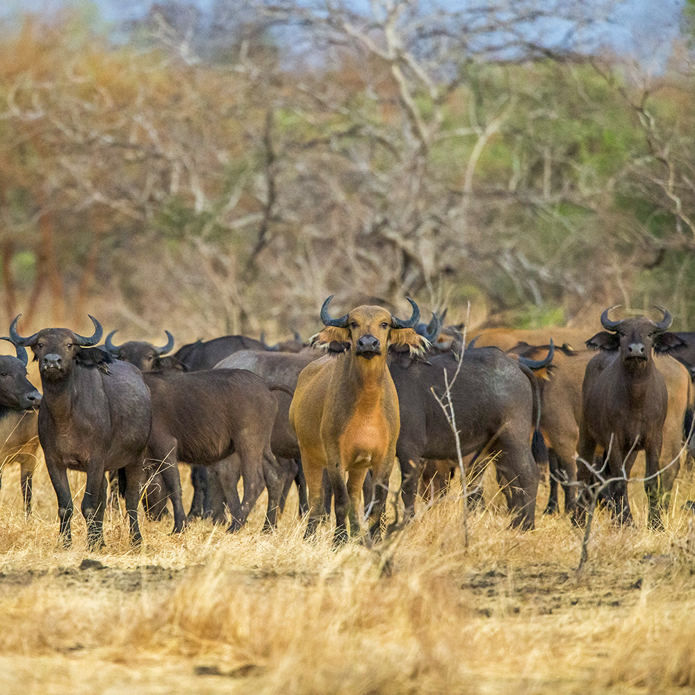 Buffalo, wildlife of Chad