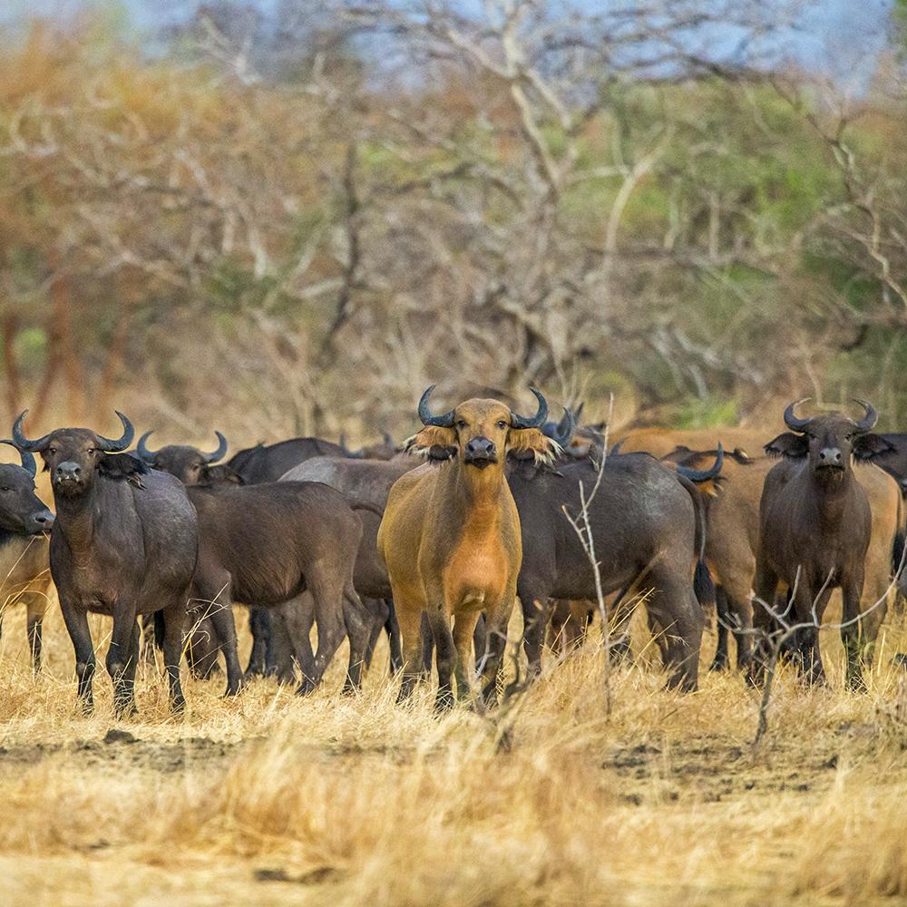 Buffalo, wildlife of Chad