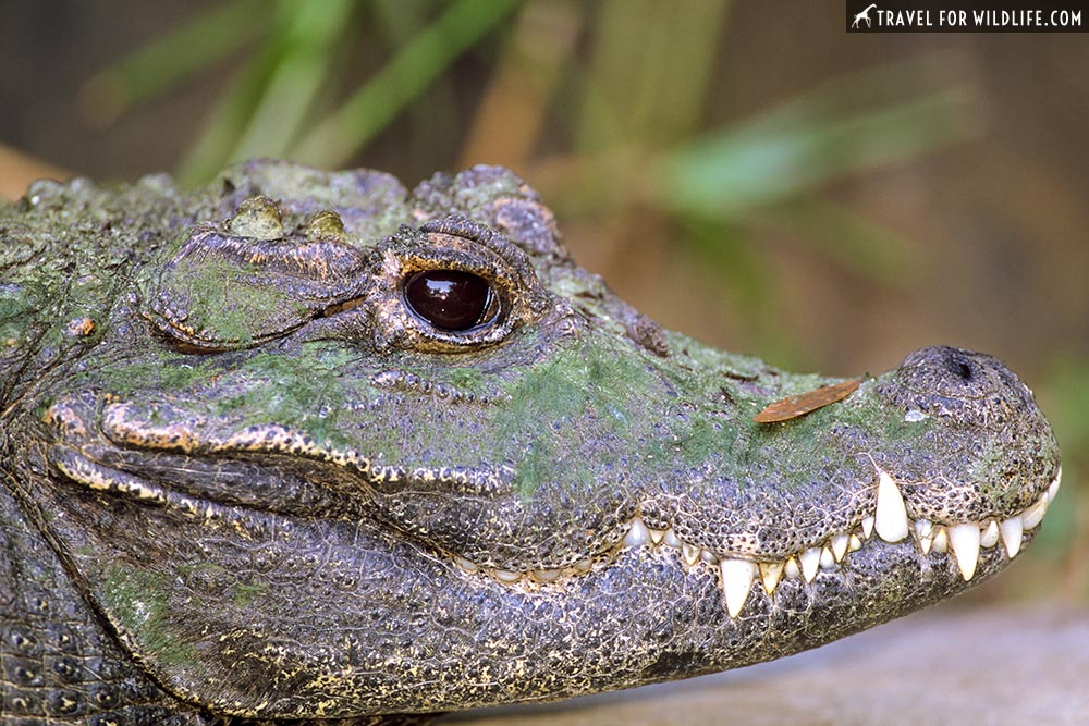 Dwarf crocodile portrait