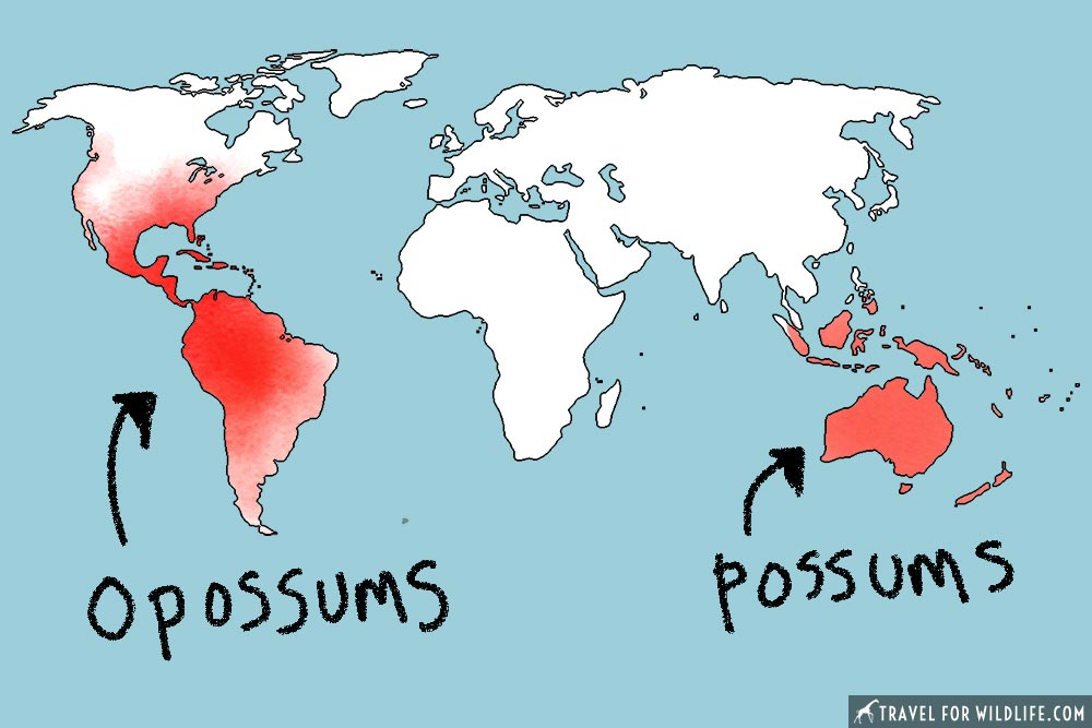 opossum vs possum map