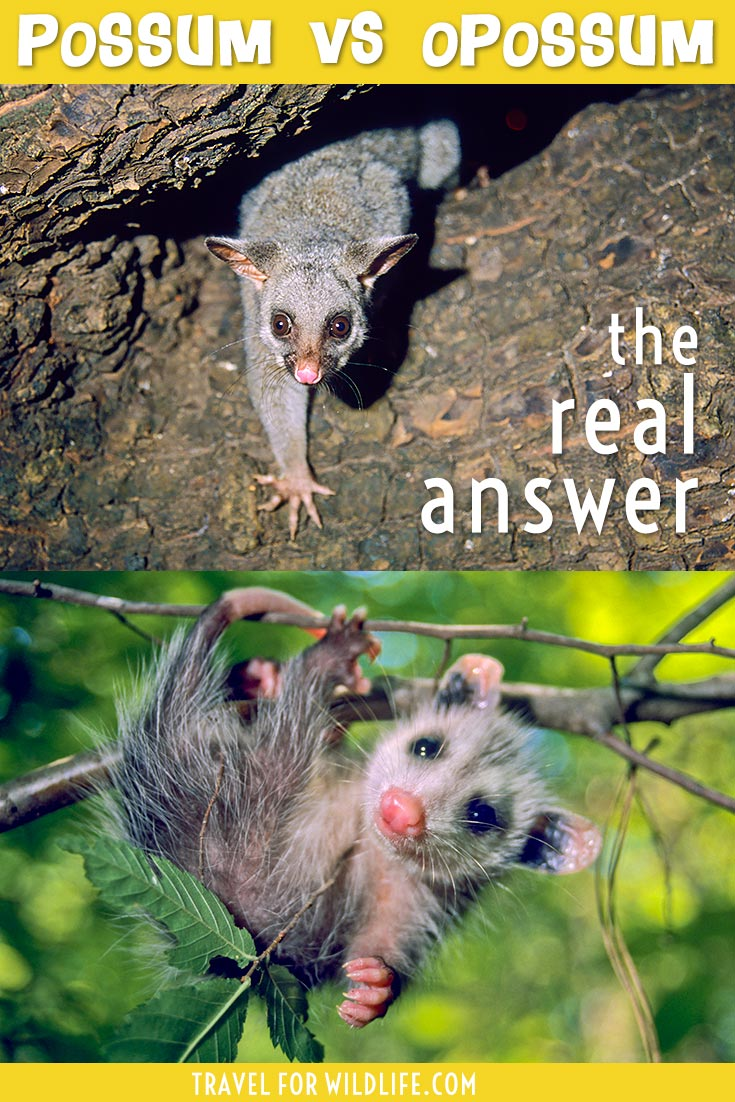 possum vs opossum
